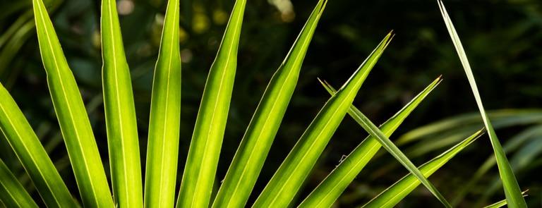 Saw palmetto benefits image