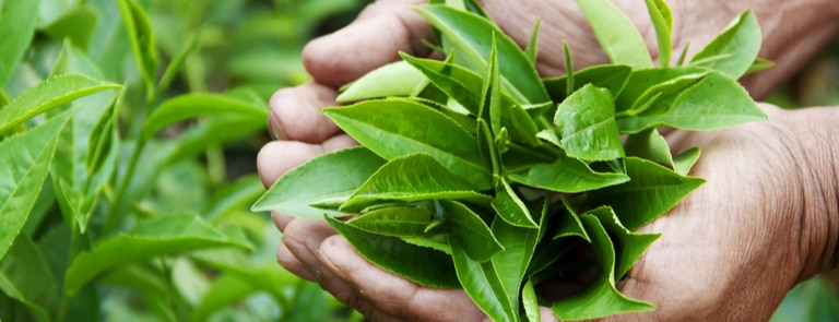 theanine is an amino acid found in tea leaves