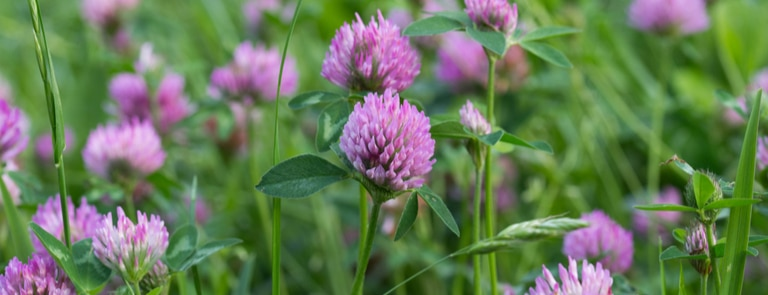 Red clover: overview, benefits, dosage, side effects image