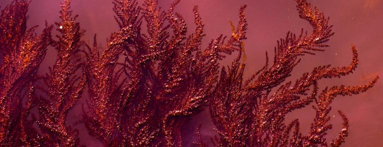 red algae on the sand
