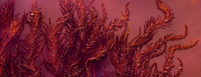 What Is Red Algae?