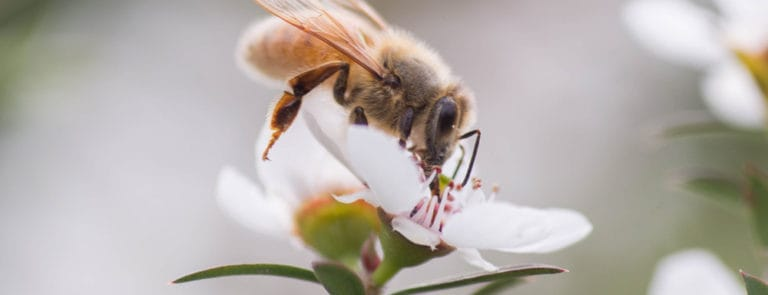 A bee sitting on a small white flower