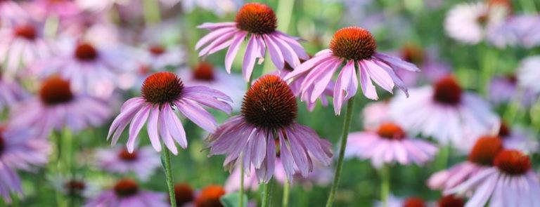 Echinacea: benefits, dosage, side-effects image