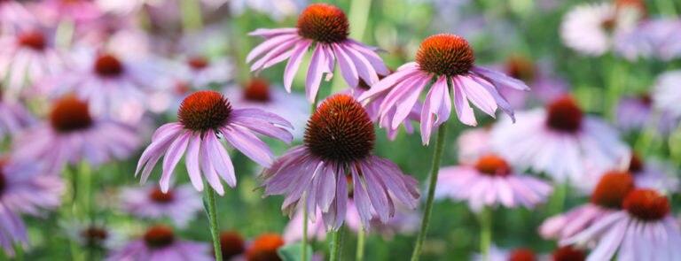 Echinacea: Benefits, Dosage, Side-Effects
