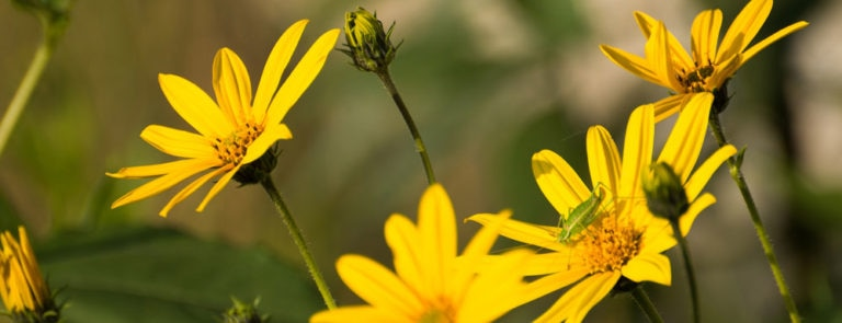 Arnica: Benefits, Side Effects, Dosage and More