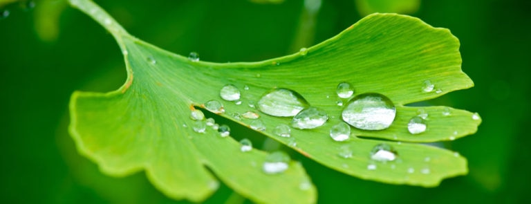 Ginkgo biloba: benefits, dosage & side-effects image