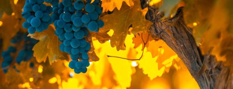 Grapeseed extract: Benefits, Side-effects, Dosage