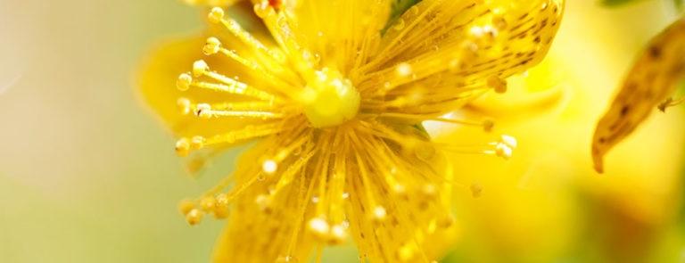 St John's wort: Benefits, Dosage & Side-Effects