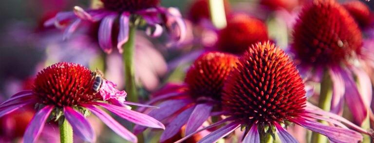 The benefits of echinacea