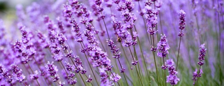 Lavender oil: Benefits, uses and dosage image