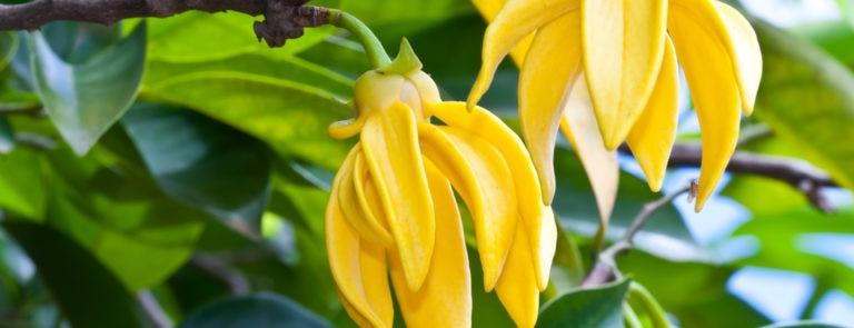 Benefits Of Ylang Ylang Essential Oil