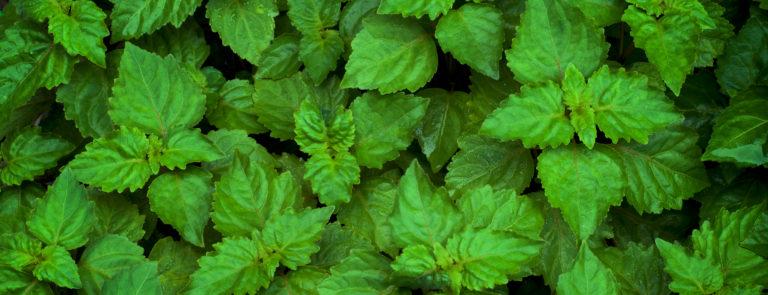 what is patchouli - patchouli plants