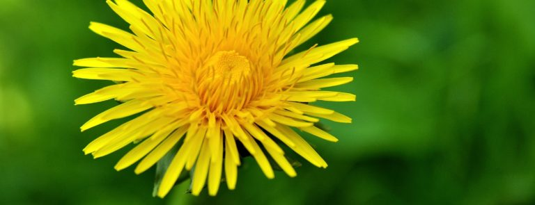 Dandelion benefits: Why they're good for health & ways to use them image